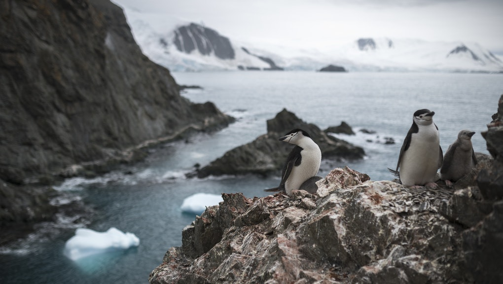 A handout photo made available by Greenpeace shows a group of chinstrap penguins on Elephant Island, Antarctica 11 February 2020. The population of chinstrap penguins fell by up to 77% in some Antarctic colonies in the last fifty years, with an average depopulation of around 60%, the Greenpeace environmental organization said Tuesday.