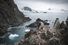 A handout photo made available by Greenpeace shows a group of chinstrap penguins on Elephant Island,...