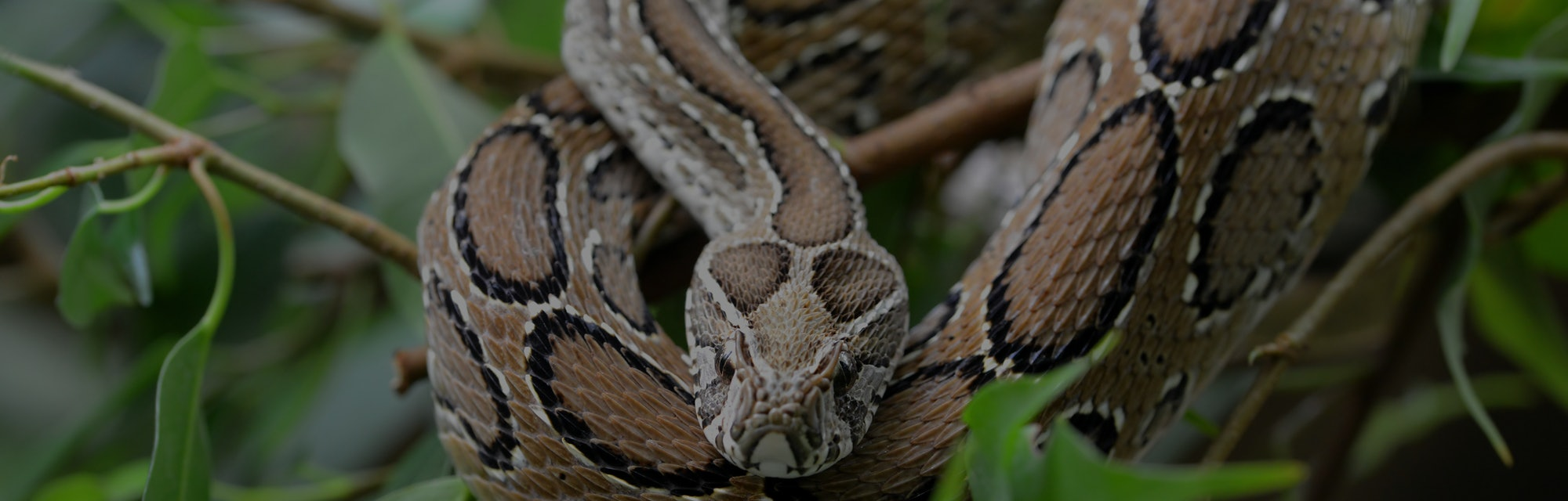 Russell's viper ( Daboia russelii ) on branch of tree. Venomous snake living in South Asia.