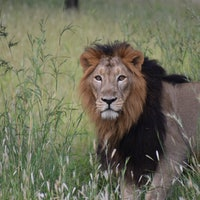 Can better tracking save India's endangered lions?
