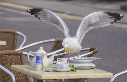 Herring Gull (Larus argentatus) adult, breeding plumage, stealing food from cafe table, Sennen Cove,...