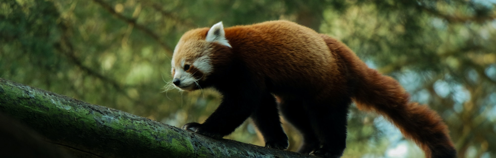 Red panda in the forest