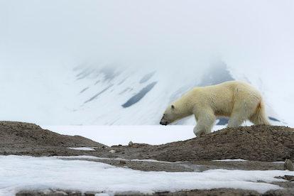 Female polar bear (Ursus maritimus) walking on the ridge of a glacier, Bjoernsundet, Hinlopen Strait...