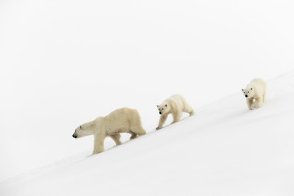 Polar bears (Ursus maritimus), mother animal and 15 months old cubs walking in snow, Unorganized Baf...
