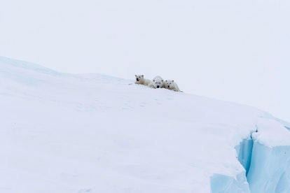 Polar bears (Ursus maritimus), mother animal and two young cubs, three month old, lying on an iceber...
