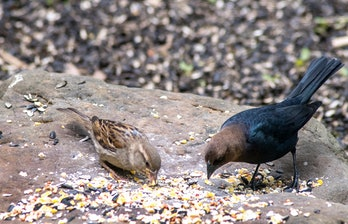 a small finch and a brown headed cowbird, share bird seed and corn on a worn, flat rock