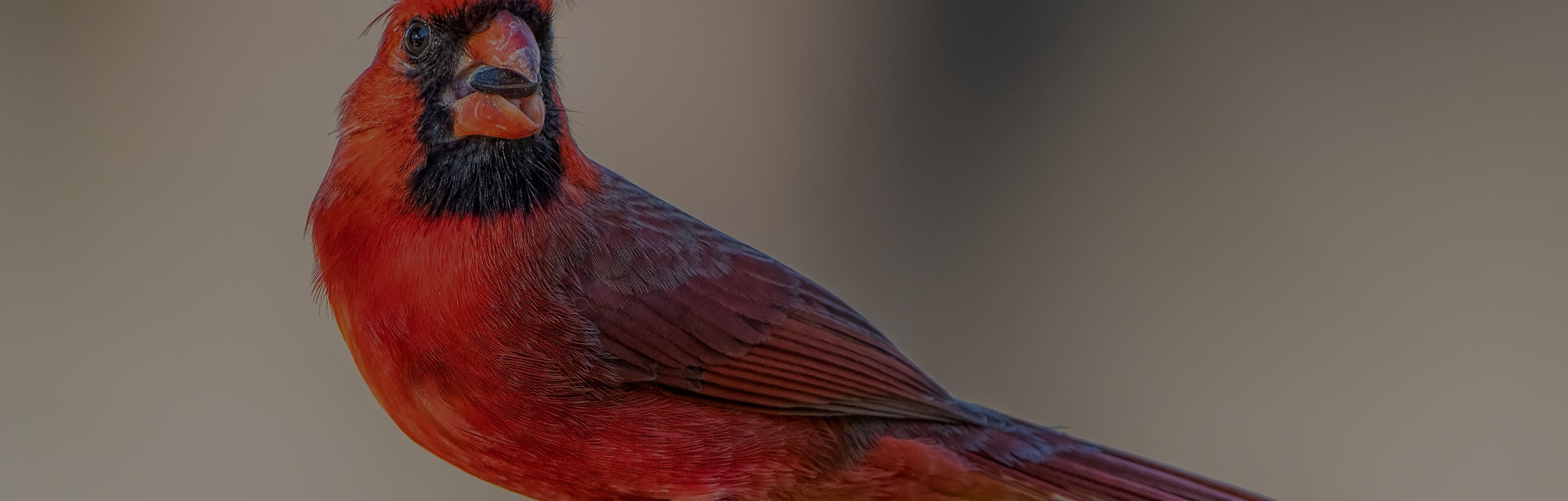 Northern Cardinal on Feeder During a Blustery Winter Day in Louisiana