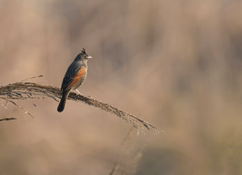 Crested bunting -Melophus lathami on perch at sunrise
