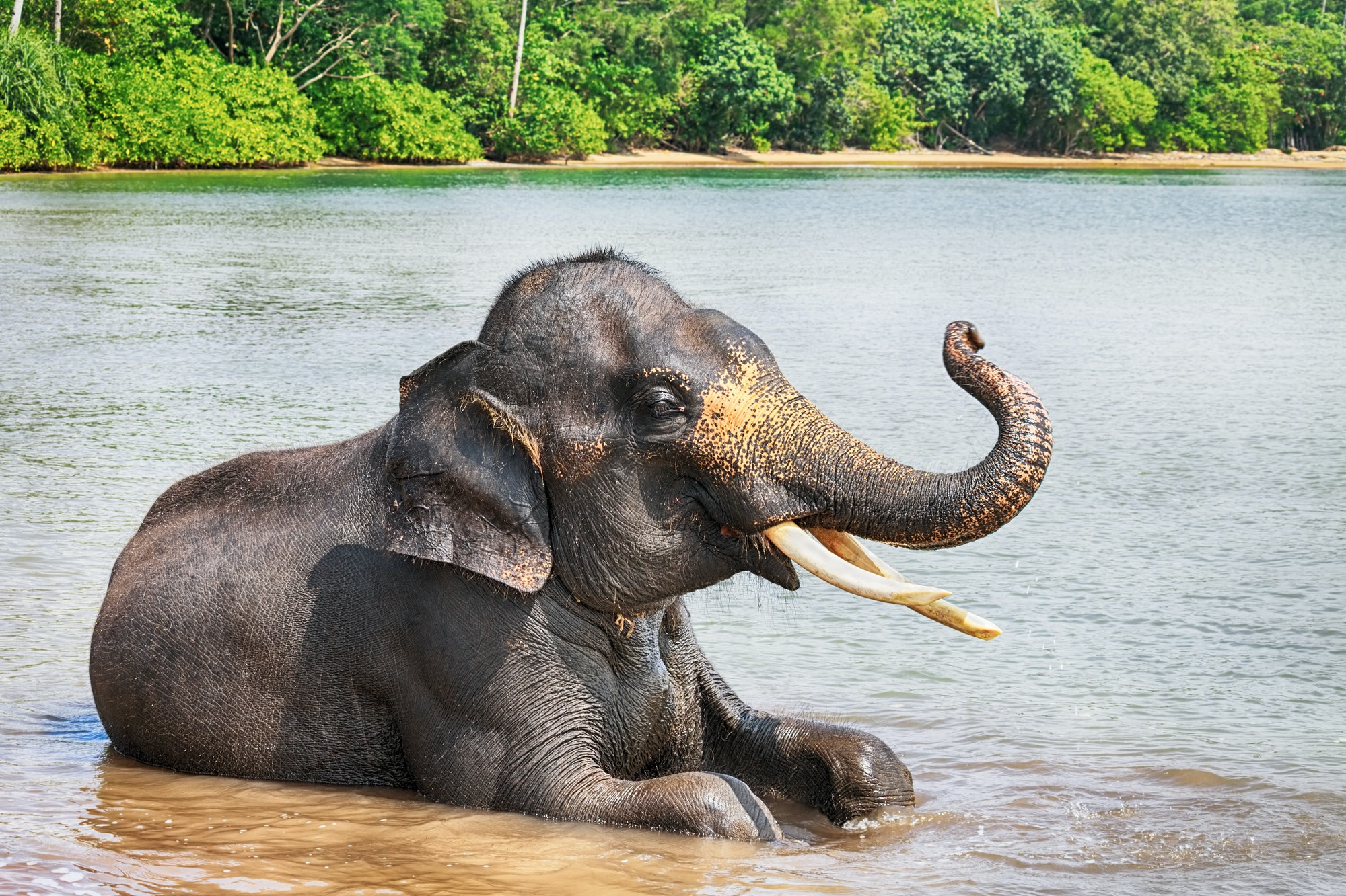 Sumatran elephant lying in sea with its trunk raised,  Bintan, Indonesia.