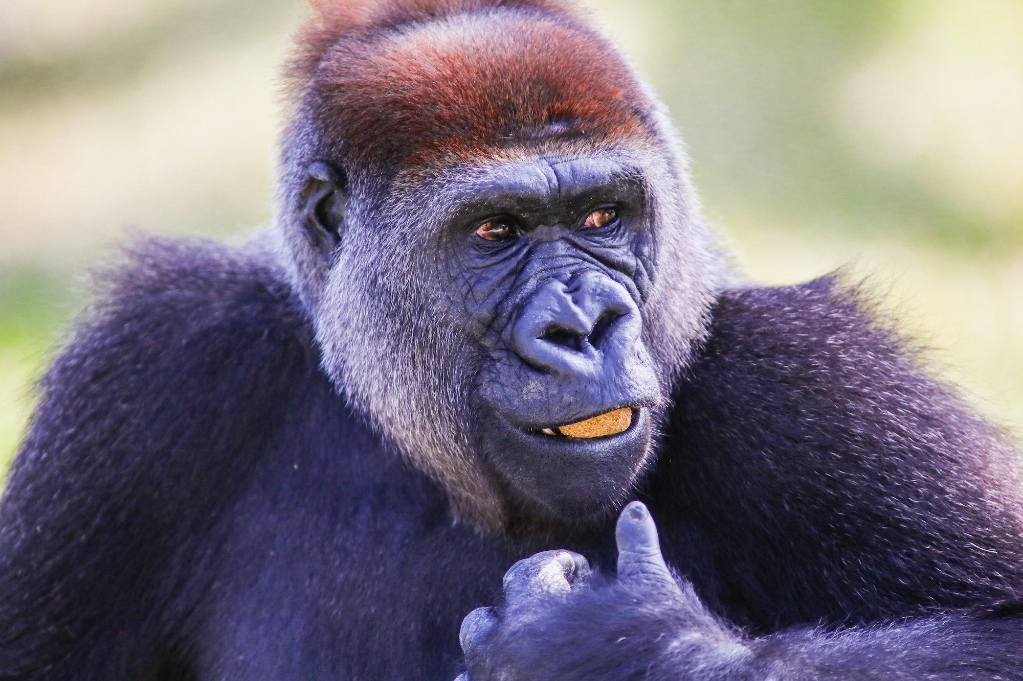 cross river gorilla chewing corn sticks