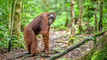 Bornean orangutan in the wild nature. Central Bornean orangutan ( Pongo pygmaeus wurmbii )  in natur...