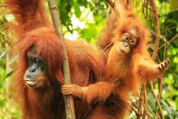 Female Sumatran orangutan with a baby sitting on a tree in Gunung Leuser National Park, Sumatra, Ind...
