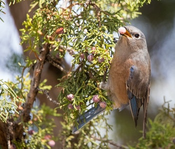 western bluebird in juniper tree