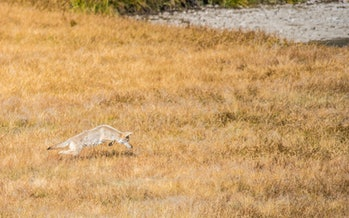 Coyote on the hunt in the autumn light