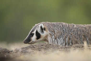 American Badger hunting prarie dogs at Theodore Roosevelt National Park