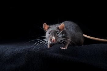 Black rat on black background. Chinese year of rat symbol. Domestic dumbo rat pet portrait in studio looking to camera