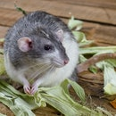 Decorative rat on an old wooden table in the leaves of maize.