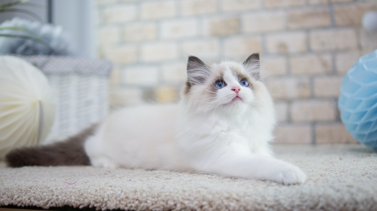 A fluffy white kitten with blue eyes sits on the floor, looking up.