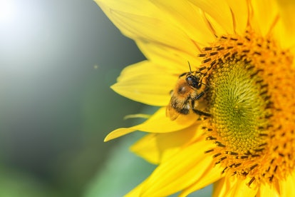 Bumblebee. One large bumblebee sits on a yellow sunflower flower on a Sunny bright day. Macro horizo...