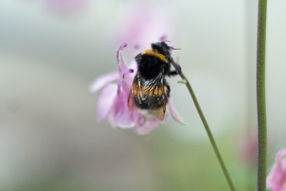 Bumblebee on flower. The bumblebee collects pollen. Works like a bee