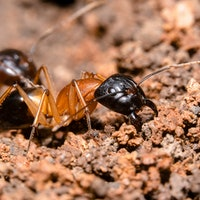 Pee-eating ants may be the climate heroes we need right now