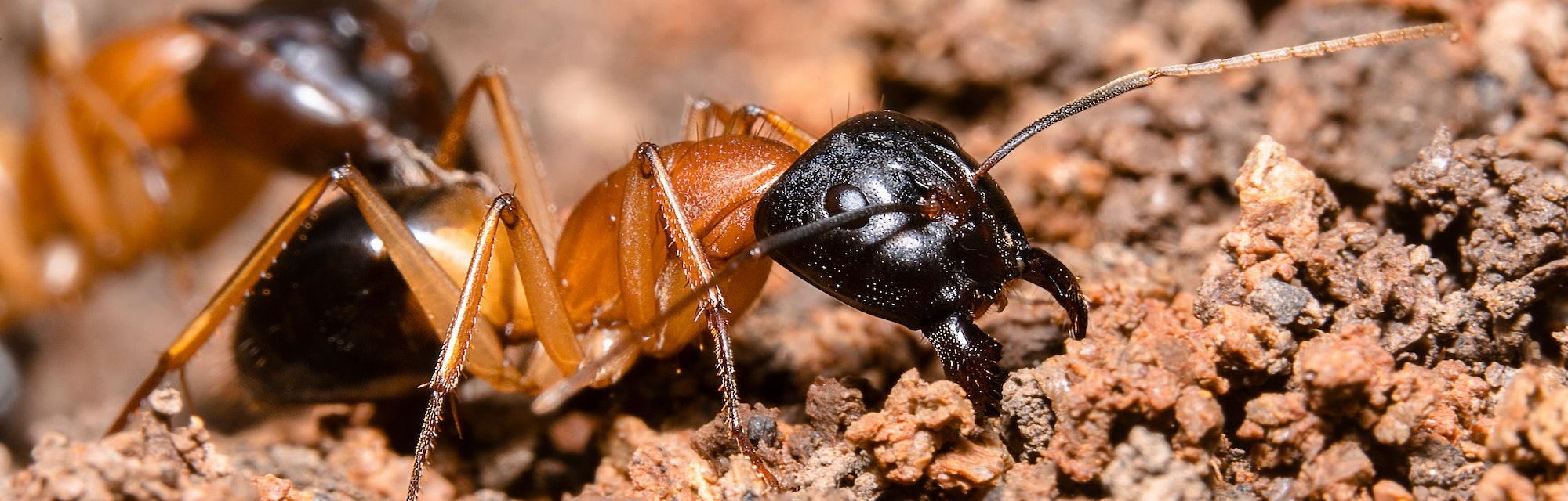 Black-headed sugar ants,  brown sugar ants, Scientific name: Camponotus nigriceps