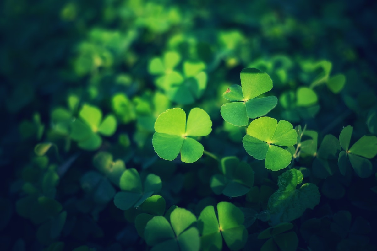 Green clover leaf for green background. with three-leaved shamrock . St. Patrick's day vacation and holiday clovers symbol.