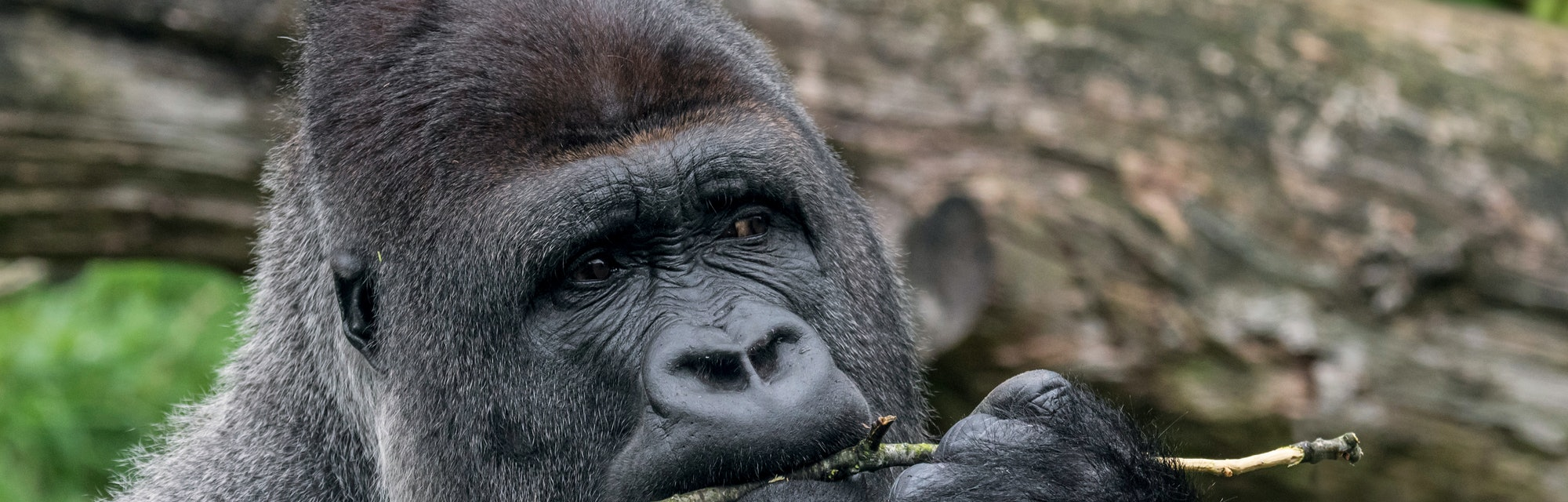 Western lowland gorilla close-up of male silverback chewing on twig