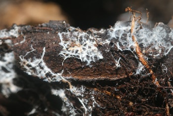 Fungal mycelium (Mycorrhizae) that provide symbiotic relationship between plants and fungi