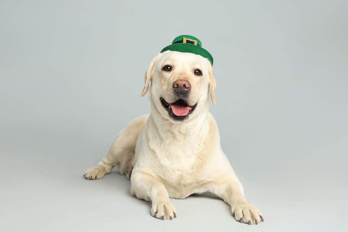 Labrador retriever with leprechaun hat on light grey background. St. Patrick's day