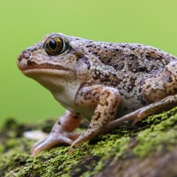 In America's Southwest, free love is vital to toad survival