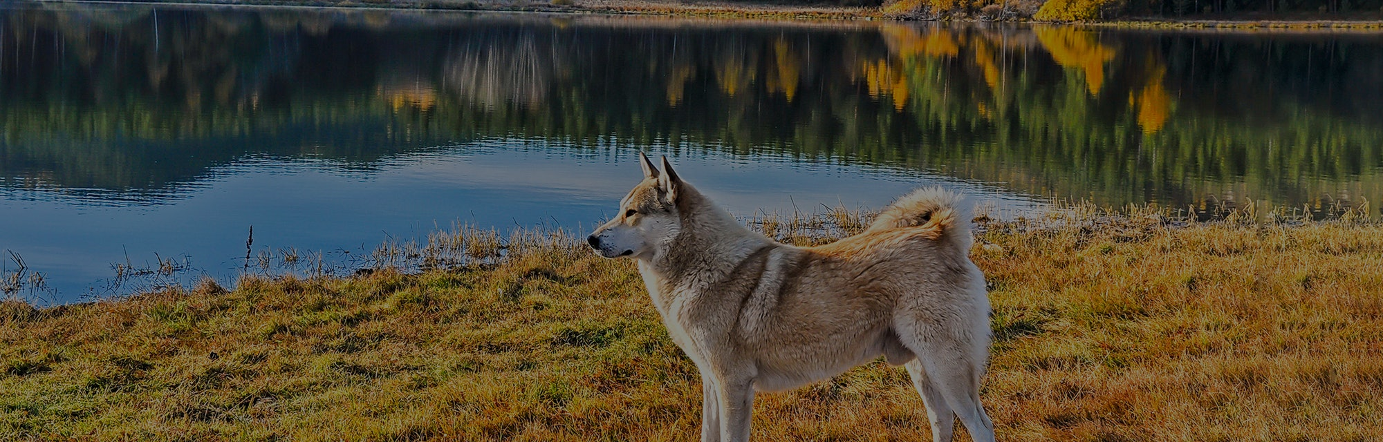 Dog at mountain forest lake. Dog on lake shore. Dog in nature. Autumn lake dog portrait