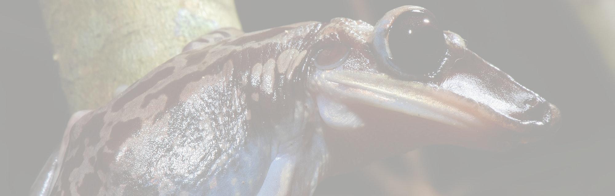 Bruno s Casque headed Frog photographed in Guarapari, Espirito Santo. Southeast of Brazil. Atlantic Forest Biome. Picture made in 2007.