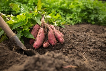 dug bush of sweet potato with shovel and green leafes on black ground