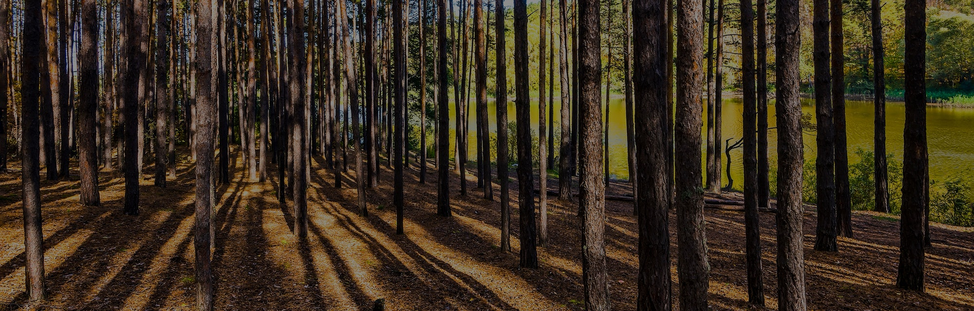 Pine tree forest. Forest trees shadows. Pine forest trees. Forest trees