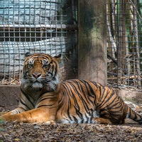 Can you tame a tiger? The science behind Netfix's Tiger King