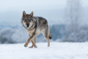wolf in snow, attractive winter scene with wolf, close to wolf in snow