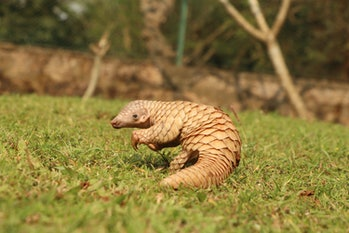 cute baby Indian pangolin