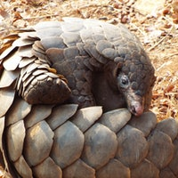 Pangolins: What are they and why are they linked to Covid-19?