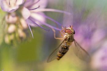 macro hoverfly Episyrphus balteatuson violet flower eating pollen nectar summer with detail. close up of marmalade hoverfly or Episyrphus balteatus sitting on flower in the garden.