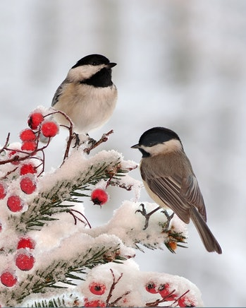 Winter Black- capped Chickadees (Poecile atricapillus) on a festive spruce bough.