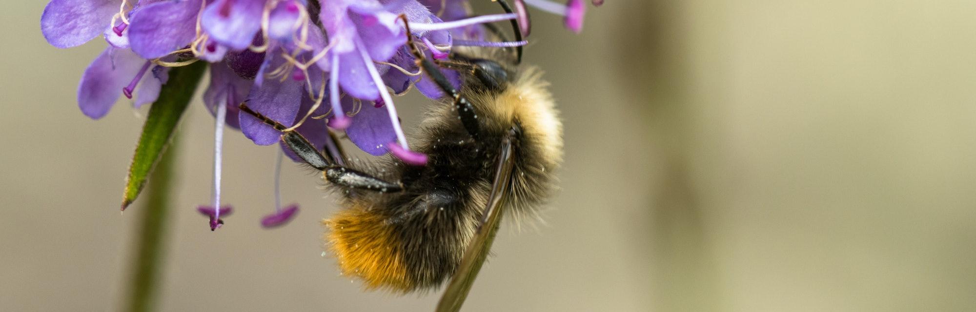 Early Bumblebee or early-nesting bumblebee, Bombus pratorum, male sitting on devils bit scabious, Succisa pratensis