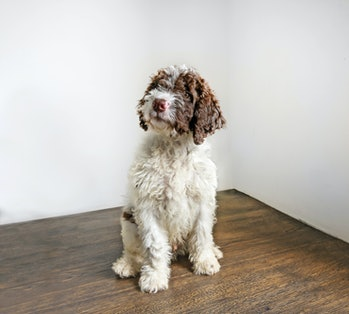 Lagotto puppy seating on a wooden floor