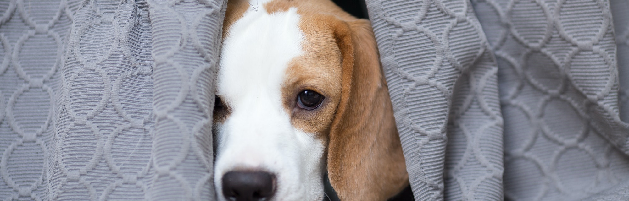 Sweet two color Beagle's hiding behind the curtain with the curious eyes
