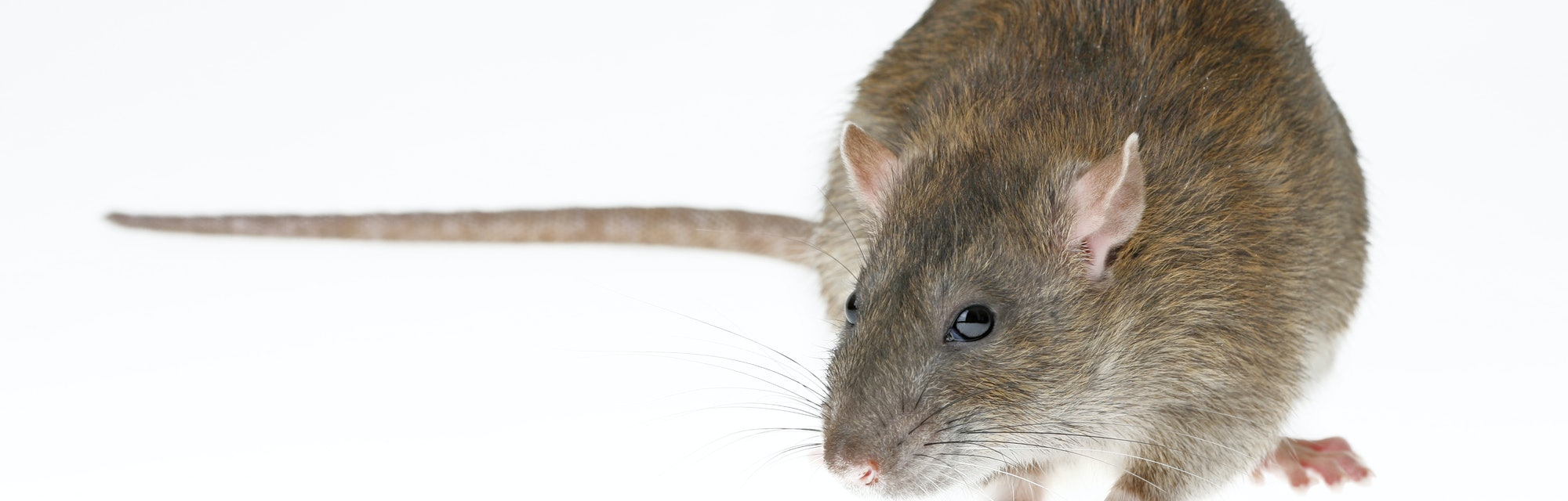 brown rat isolated