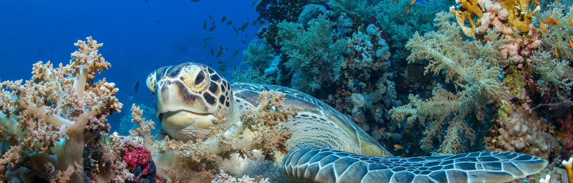Sea turtle underwater scene. Underwater sea turtle. Sea turtle view. Underwater sea turtle portrait