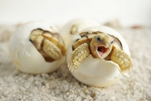 Close up Baby Tortoise Hatching (African spurred tortoise),Birth of new life, Cute baby Animal ,slow...