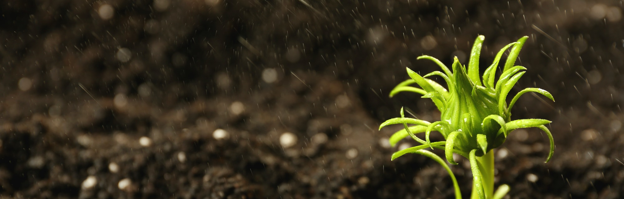 Fresh green plant in fertile soil under rain, space for text
