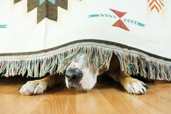 The dog is hiding under the sofa and afraid to go out. The concept of dog's anxiety about thundersto...