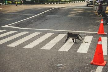 Monkey street crossing in Uluwatu, Bali Indonesia